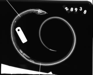 To NMNH Extant Collection (Pisoodonophis cruentifer USNM 28938 lectotype radiograph lateral view)