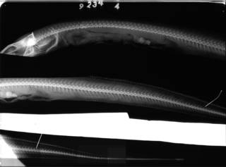 To NMNH Extant Collection (Bathycongrus stimpsoni USNM 92344 holotype radiograph lateral view)