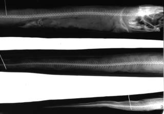 To NMNH Extant Collection (Silvesterina parvibranchialis USNM 92346 type radiograph lateral view)