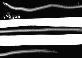 To NMNH Extant Collection (Moringua penni USNM 130660 holotype radiograph lateral view)