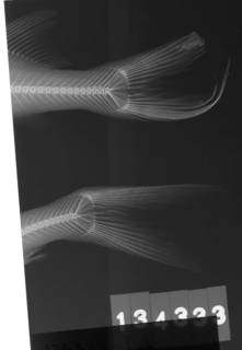 To NMNH Extant Collection (Arius melanopus USNM 134333 radiograph lateral view)
