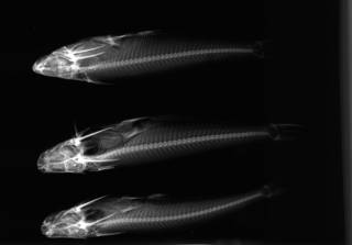 To NMNH Extant Collection (Auchenipterus nuchalis USNM 347166 1 of 2 radiograph lateral view)