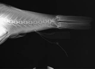 To NMNH Extant Collection (Takifugu poecilonotus USNM 392634 radiograph caudal area)