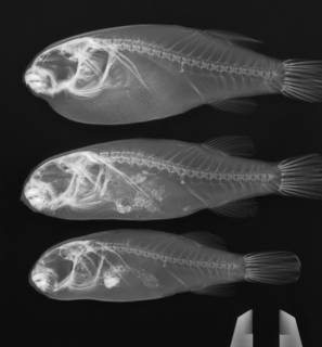To NMNH Extant Collection (Marilyna darwinii USNM 393448 radiograph lateral view, 3 specimens)