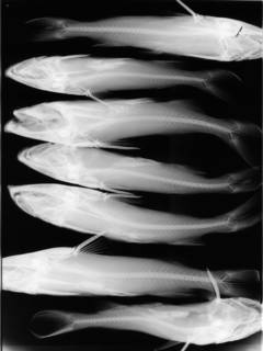 To NMNH Extant Collection (Notarius grandicassis ORE 2055 2 of 2 radiograph lateral view)