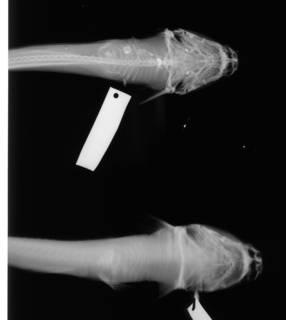 To NMNH Extant Collection (Paraplotosus albilabris USNM 173546 radiograph ventral view)