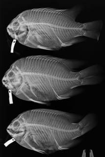 To NMNH Extant Collection (Hypsypops rubicundus USNM 24995 (top), USNM 25955 (bottom) radiograph)