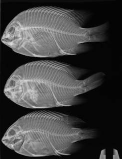 To NMNH Extant Collection (Stegastes acapulcoensis USNM 215173 radiograph 3 of 6)