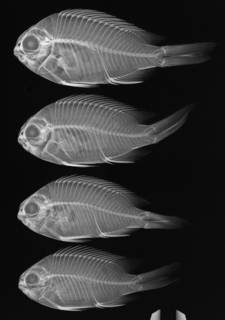To NMNH Extant Collection (Chromis meridiana USNM 219030 radiograph paratypes)
