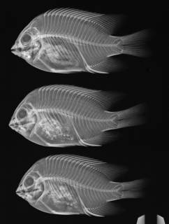 To NMNH Extant Collection (Stegastes acapulcoensis USNM 301402 radiograph 3 of 8)