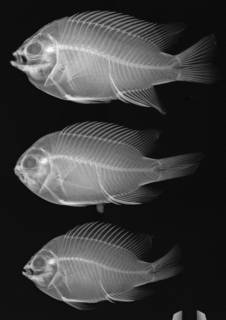 To NMNH Extant Collection (Chromis limbaughi USNM 321202 radiograph, 3 of 4 specimens)