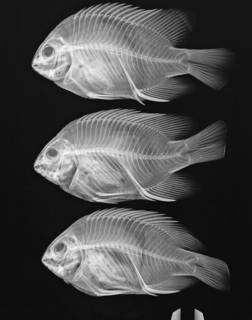 To NMNH Extant Collection (Stegastes redemptus USNM 339330 radiograph 3 of 6)