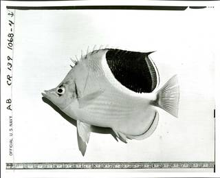 To NMNH Extant Collection (Chaetodon ephippium P02786 transparency print)