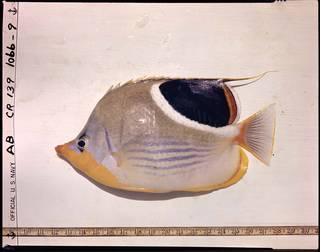 To NMNH Extant Collection (Chaetodon ephippium P02783 transparency)