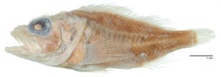 To NMNH Extant Collection (Phenacoscorpius USNM 98903 megalops type photograph lateral view)