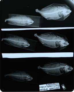 To NMNH Extant Collection (Citharichthys arctifrons USNM 25908 syntypes radiograph lateral view)