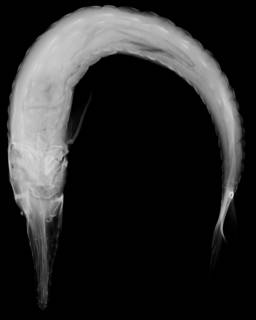 To NMNH Extant Collection (Acipenser stellatus USNM 237414 radiograph ventral view)