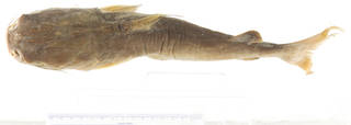 To NMNH Extant Collection (Arius macronotacanthus USNM 297114 photograph 1 of 4 dorsal view)