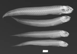 To NMNH Extant Collection (Trypauchen pelaeos USNM 339608 paratype radiograph lateral view)
