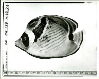 To NMNH Extant Collection (Chaetodon lunula P02810 transparency print)