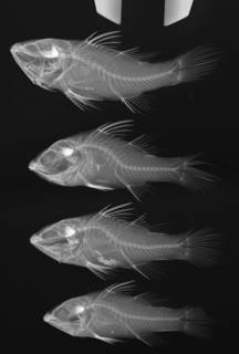 To NMNH Extant Collection (Fowleria marmorata USNM 347169 radiograph)