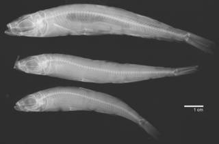 To NMNH Extant Collection (Atherina hepsetus USNM 48365 radiograph)
