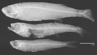 To NMNH Extant Collection (Atherina breviceps USNM 153520 radiograph)