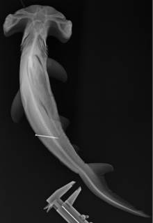 To NMNH Extant Collection (Sphyrna USNM 264341 radiograph body)