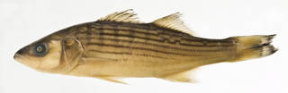 To NMNH Extant Collection (Morone saxatilis USNM 383718 photograph lateral view)