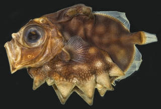 To NMNH Extant Collection (Oreosoma atlanticum USNM 385874 photograph lateral view, black background)