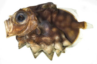 To NMNH Extant Collection (Oreosoma atlanticum USNM 385874 photograph lateral view)