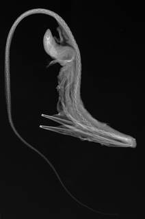 To NMNH Extant Collection (Eurypharynx pelecanoides USNM 348531 radiograph)