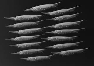To NMNH Extant Collection (Centriscus scutatus USNM 396011 radiograph)