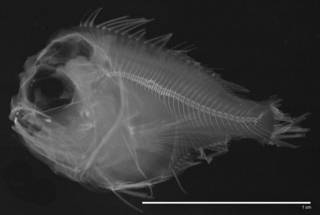 To NMNH Extant Collection (Caristiidae USNM 240176 radiograph)