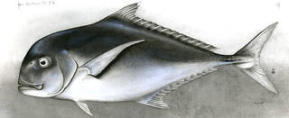 To NMNH Extant Collection (Carangoides ajax P01905 illustration)