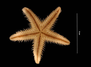 To NMNH Extant Collection (Astropecten duplicatus Gray, 1840 (USNM E40015) oral view)