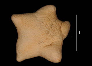 To NMNH Extant Collection (Pteraster tesselatus arcuatus Fisher, 1911 (USNM E47471) aboral view)