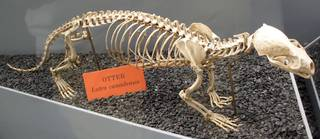To NMNH Extant Collection (Lontra canadensis)