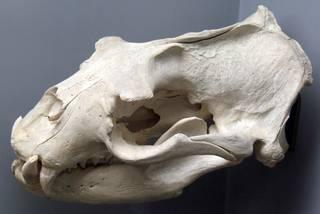 To NMNH Extant Collection (Eumetopias jubatus)