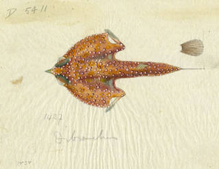 To NMNH Extant Collection (Dibranchus P10219 preliminary sketch)