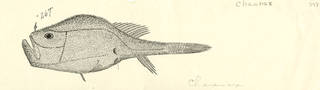 To NMNH Extant Collection (Chaunax P02924 illustration)