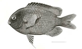 To NMNH Extant Collection (Eupomacentrus marginatus P07463 illustration)