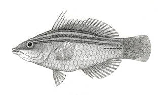 To NMNH Extant Collection (Pseudocheilinus tetrataenia P07232 illustration)