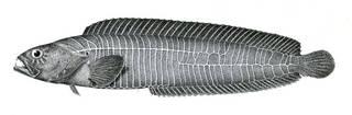 To NMNH Extant Collection (Plagiogrammus hopkinsii P08185 illustration)