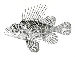 To NMNH Extant Collection (Pterois sphix P07173 illustration)