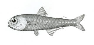 To NMNH Extant Collection (Rhinoscopelus oceanicus P06427 illustration)