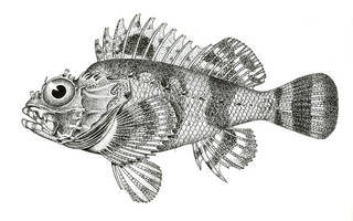 To NMNH Extant Collection (Scorpaena bergii P05789 illustration)