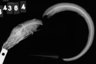 To NMNH Extant Collection (Lycodes porifer USNM 44384 holotype radiograph lateral view)