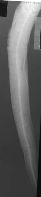 To NMNH Extant Collection (Zoarces gilli USNM 45355 radiograph lateral view)