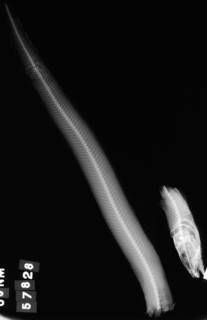 To NMNH Extant Collection (Lycodes jordani USNM 57828 holotype radiograph lateral view)